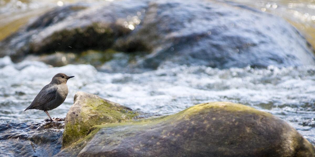 Bird (American Dipper) sitting in Eagle River, Photo by Steven DeWitt